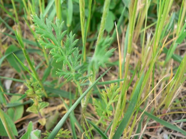 Papaver hybridum (2)