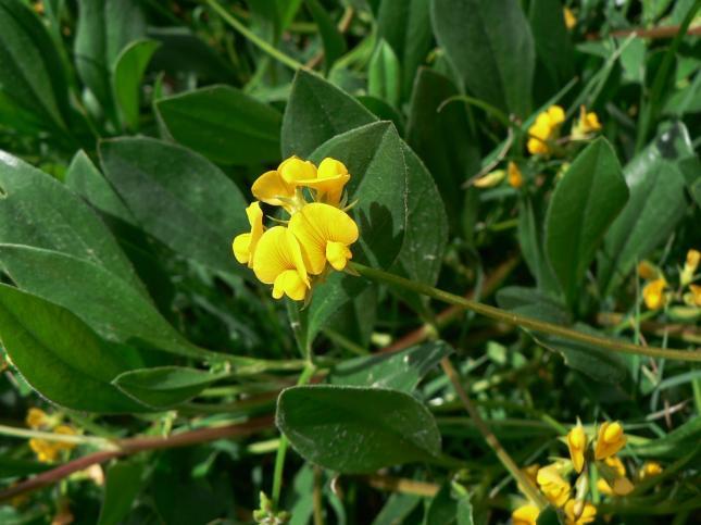 papilionacea1