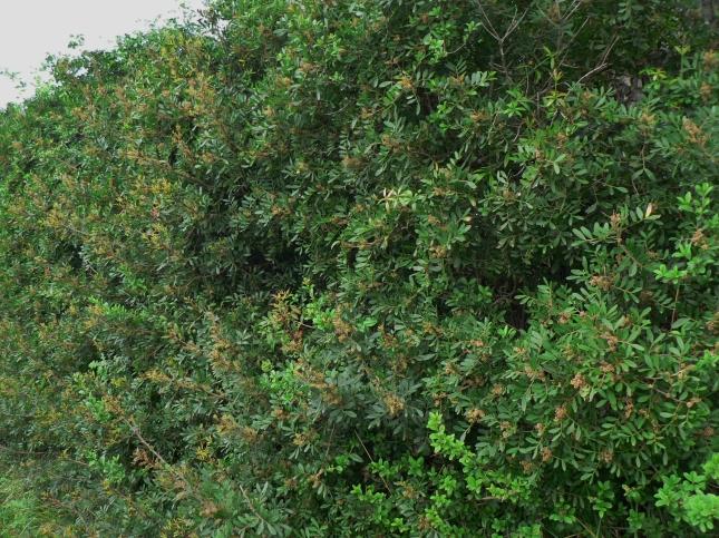 Pistacia lentiscus (1)