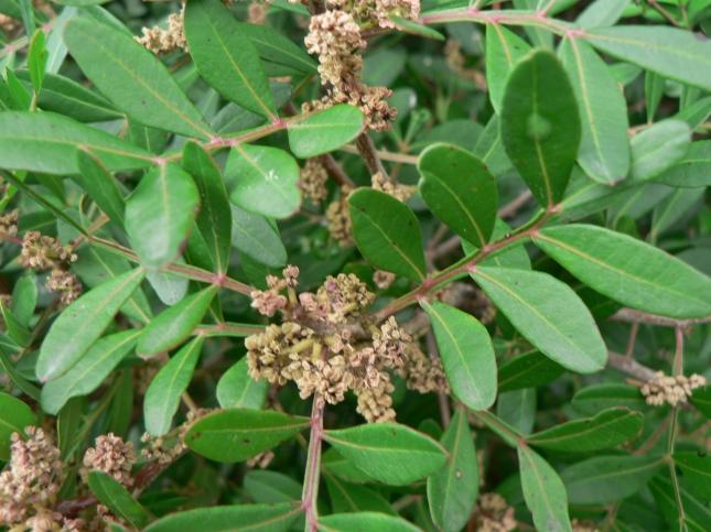 Pistacia lentiscus (3)