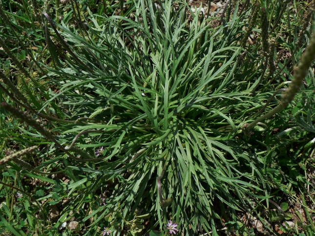 Plantago coronopus (10)