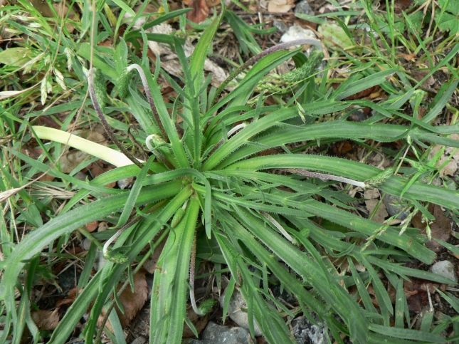 Plantago coronopus (3)