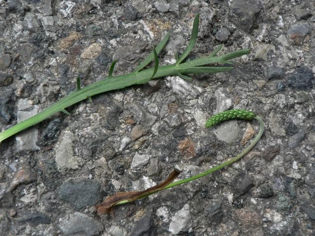 Plantago coronopus (6)
