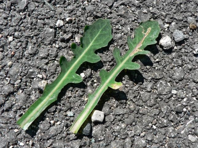 reicardia picroides (2)