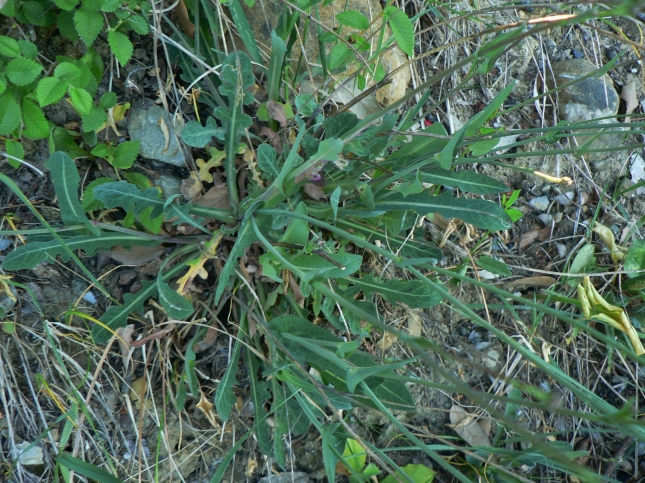 reicardia picroides (3)