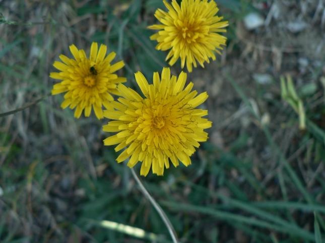 reicardia picroides (4)