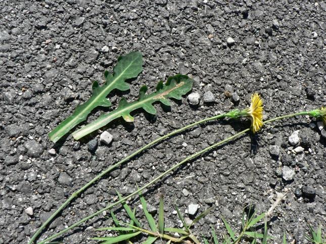 reicardia picroides (5)