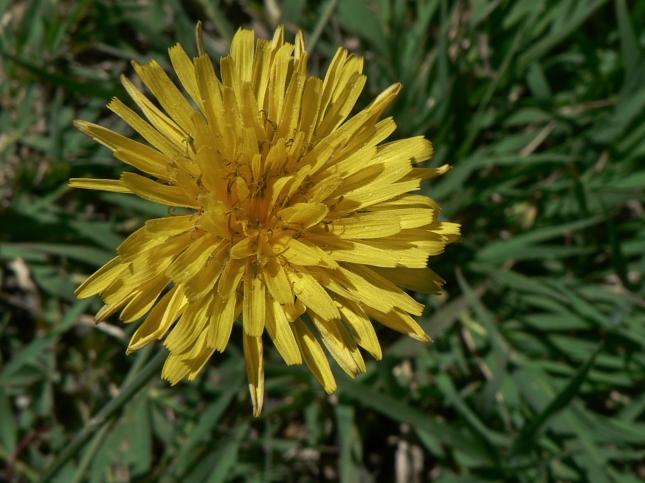 reicardia picroides (7)
