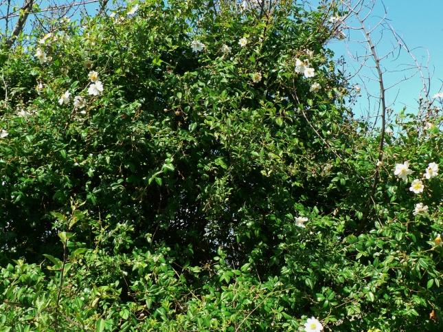 Rosa arvensis (1)
