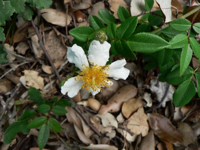 Rosa arvensis (2)