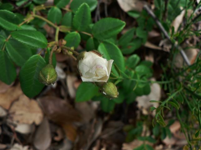 Rosa arvensis (3)