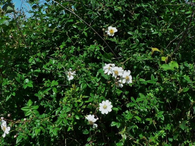 Rosa arvensis (4)