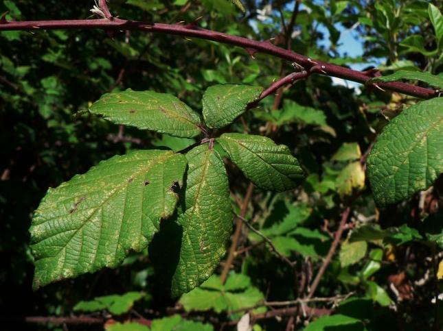 Rubus fruticosus(10)