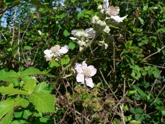 Rubus fruticosus(8)