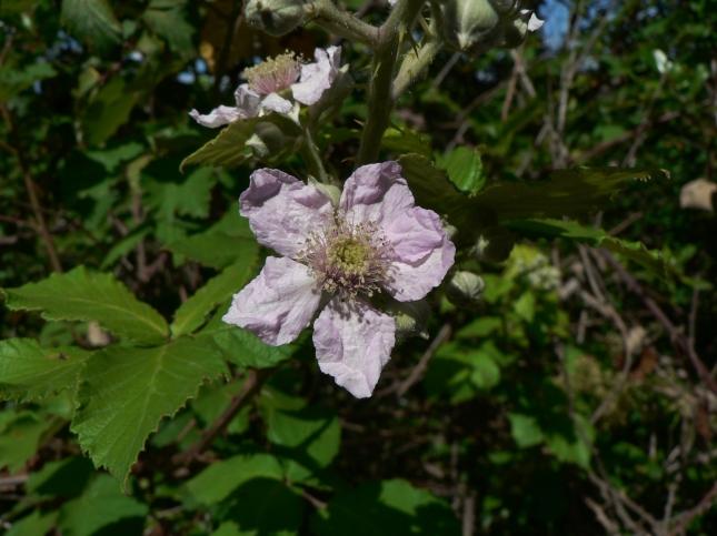 Rubus fruticosus(9)