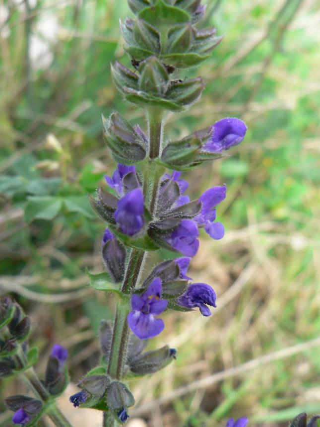 Salvia verbenaca (1)