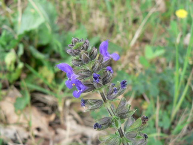 Salvia verbenaca (2)