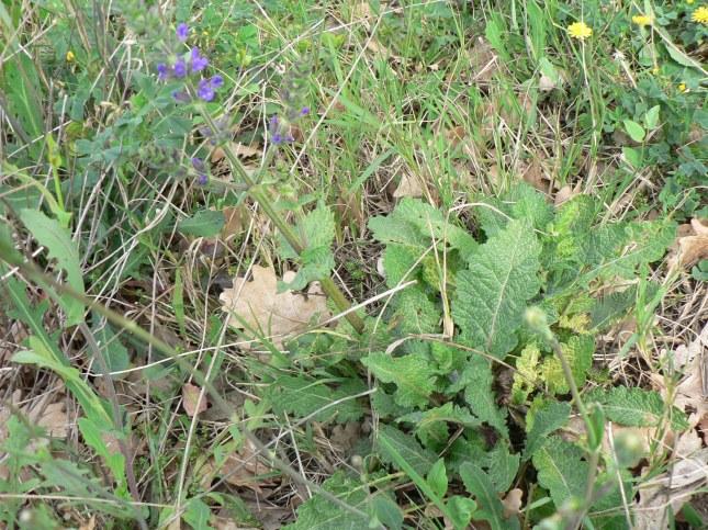 Salvia verbenaca (3)