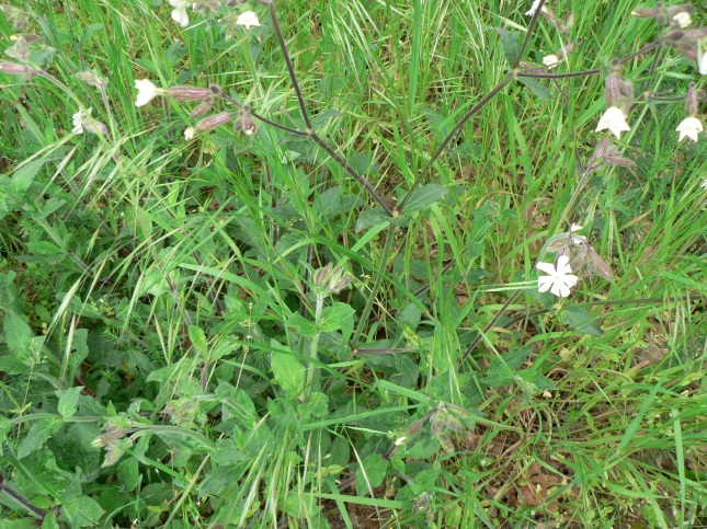 Silene latifolia (3)