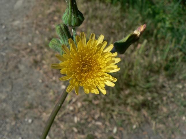 Soncus oleraceus (2)