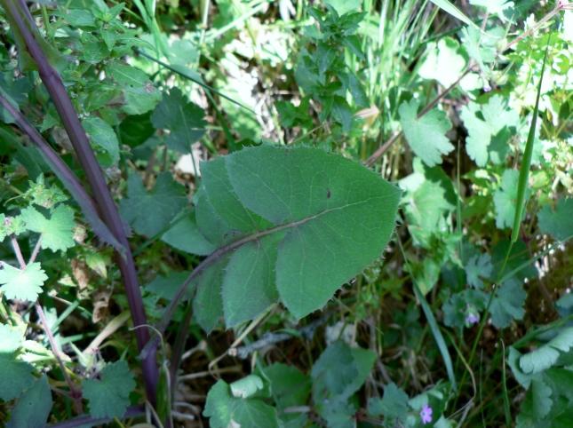 Soncus oleraceus (3)