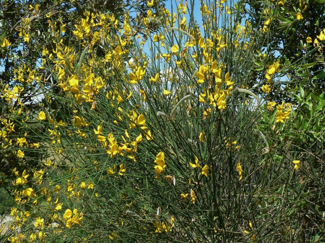 Spartium Junceum (2)
