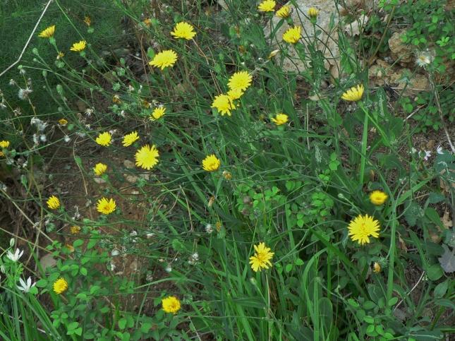 Terracrepolo, fiori simili a Tarassaco