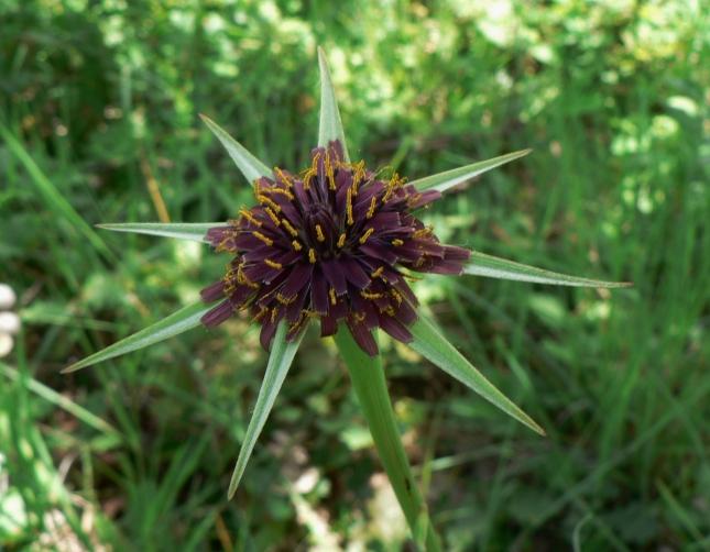 Tragopogon porrifolius (4)