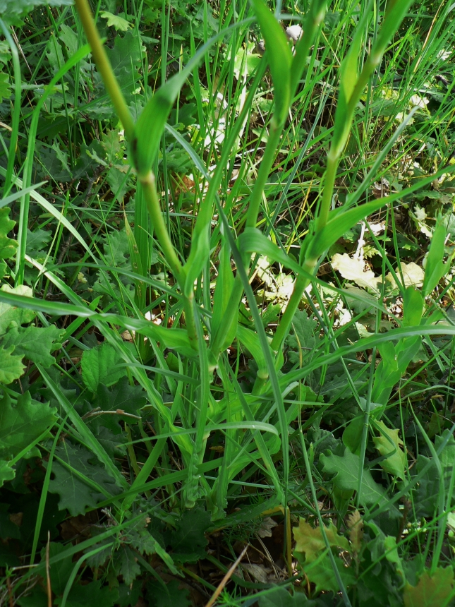 Tragopogon porrifolius (6)