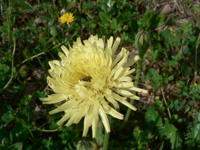 Uruspermum dalechampii (1)