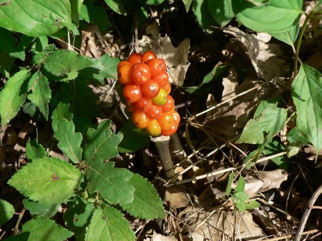 arum italicum (2)