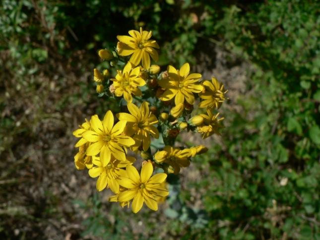 Blakstonia perfoliata (2)
