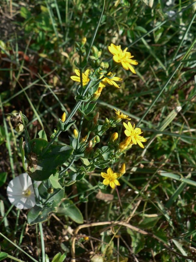 Blakstonia perfoliata (4)