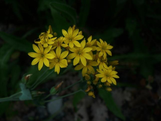 Blakstonia perfoliata (7)