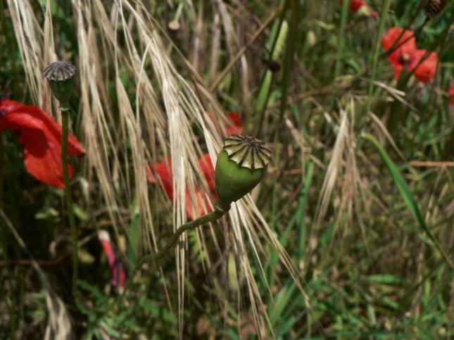 capsula semi pavavero (1)