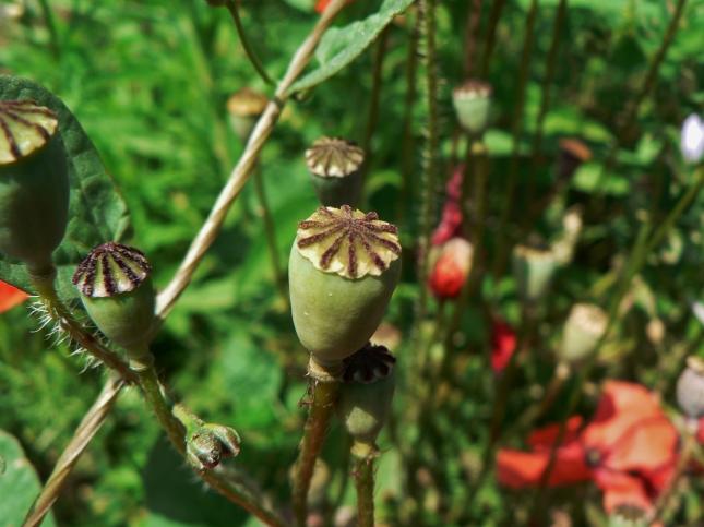 capsula semi pavavero (3)