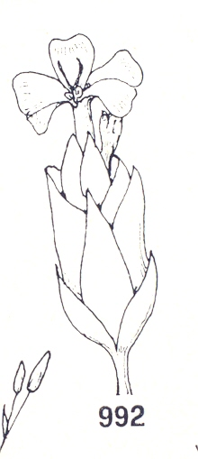 CARIOFILLACEE0001