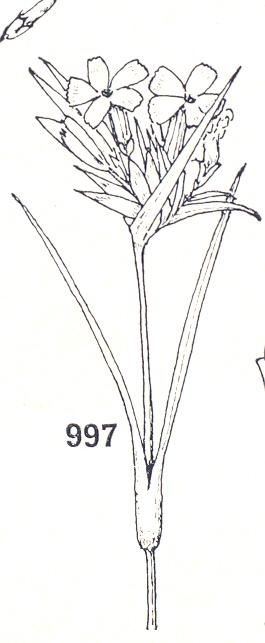 CARIOFILLACEE0002