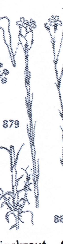 CARIOPHILLACEAE0001