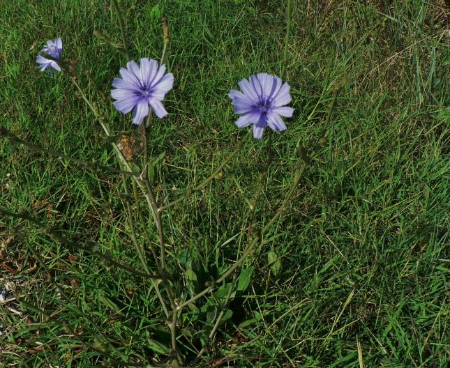 Cichorium intybus (3)