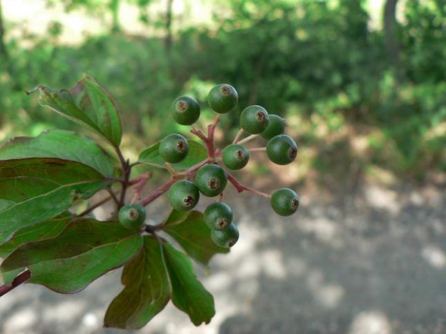 Cornus sanguinea frutti (1)