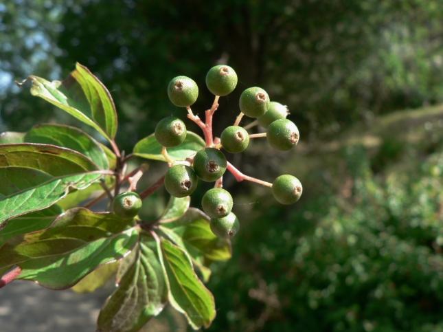 Cornus sanguinea frutti (2)