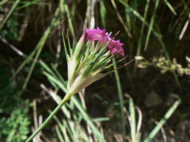 Dianthus carthusianorum (4)