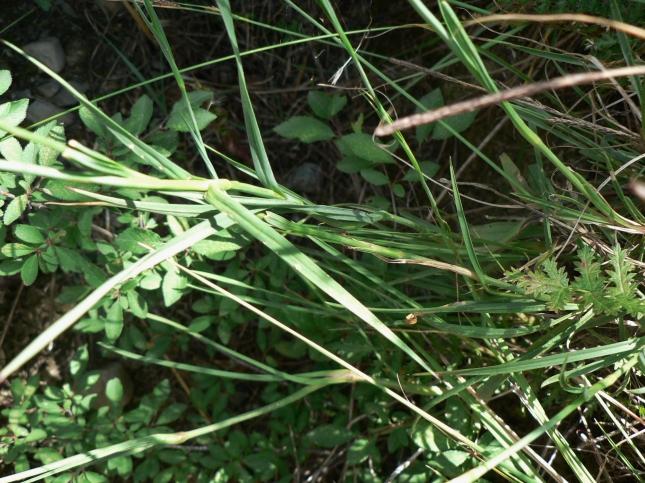 Dianthus carthusianorum (6)