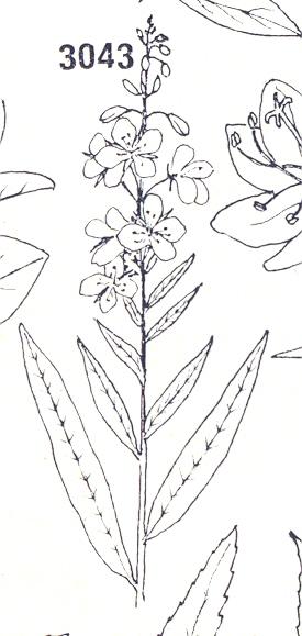 Epilobio_cima_foglie