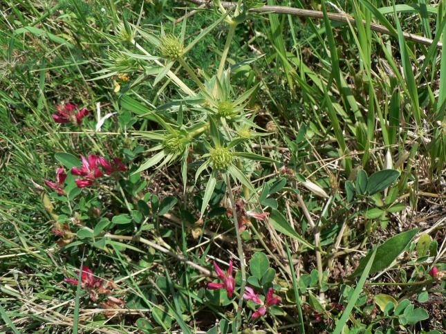 Eringium campestre (4)