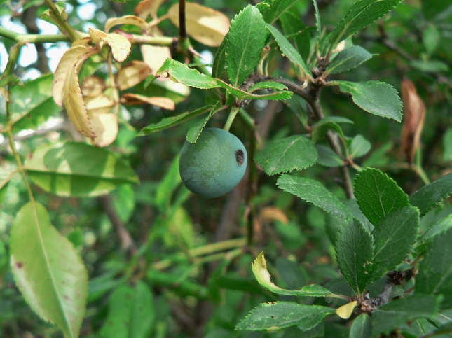 frutti prunus spinosa (1)