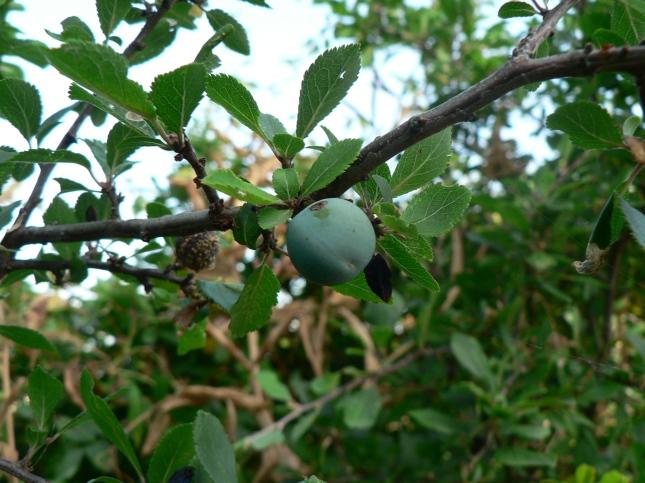 frutti prunus spinosa (2)