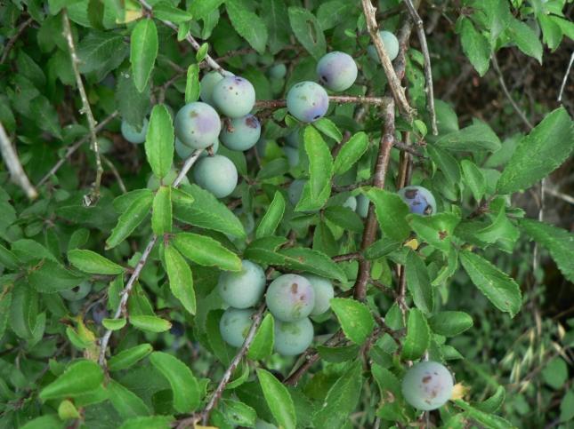 Frutto Prunus spinosa (1)