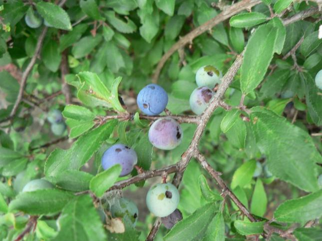 Frutto Prunus spinosa (2)